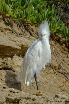 Snowy egret on the cliffs alongside the california pacific coast