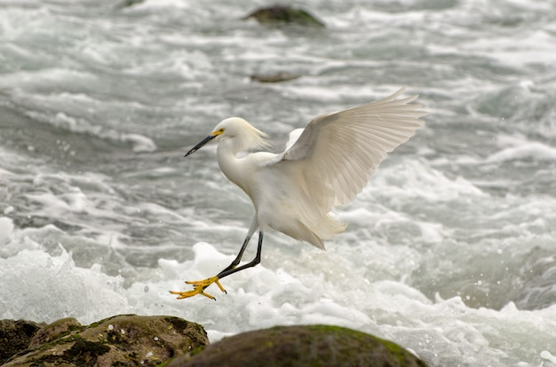 Snowy egret landing along the shoreline of the pacific ocean