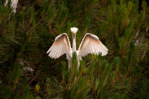 Snowy egret with outstrected wings