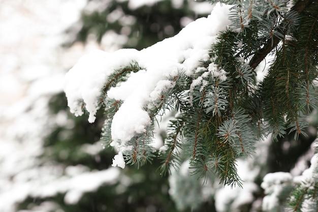눈 덮인 전나무 야외, 근접 촬영