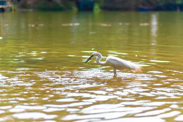 Snowy heron hunts in the lake close up.