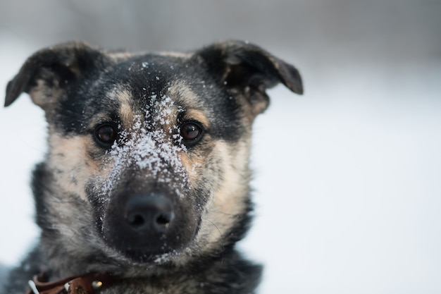 冬の森に座っている雪に覆われた雑種犬。閉じる