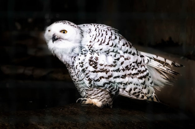 The snowy owl bubo scandiacus on dark rocks beautiful white polar owl