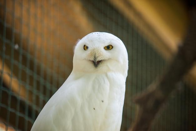 動物園で静かに外を見て座っているシロフクロウ