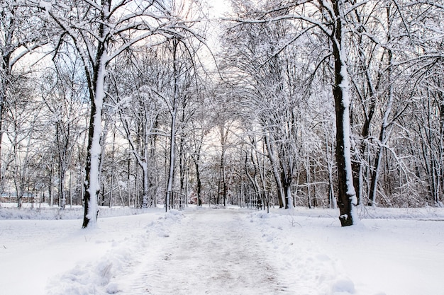Snowy path into several trees in a forest