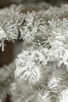 Snowy pine branches of leaves