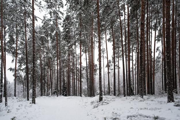 Снежный сосновый лес морозной зимой