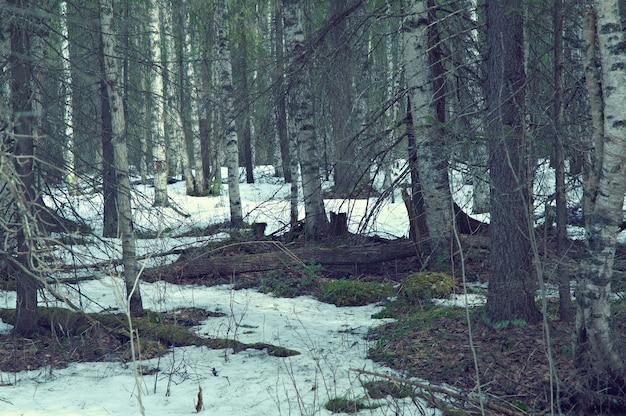 春の森の雪に覆われたロシアの風景。浅い被写界深度。
