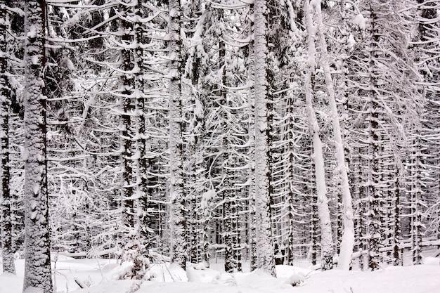 Снежный еловый лес