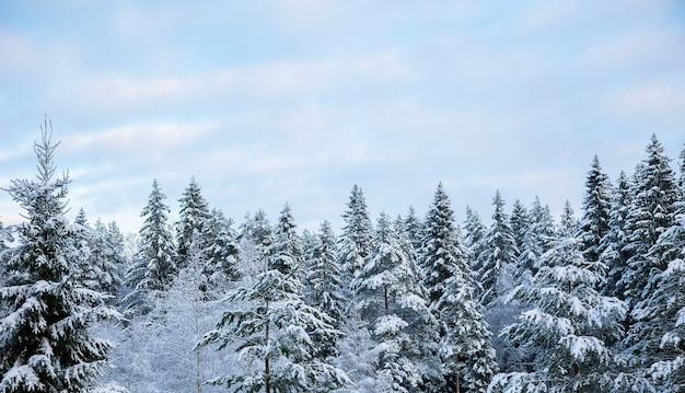 晴れた凍るような日に雪に覆われた木のてっぺんと巻雲のある空。