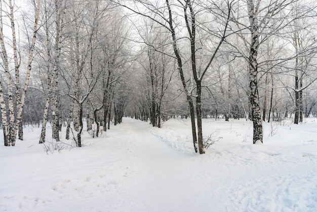 Snowy tunnel among tree branches in parkland close up. snowy white  with alley in grove. path among winter trees with hoarfrost during snowfall. fall of snow. atmospheric winter landscape.
