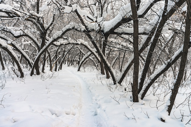 Snowy tunnel among tree branches in parkland close up
