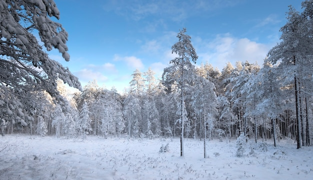 Snowy winter forest under blue sky after snowfall