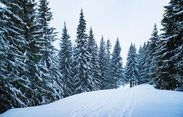 눈 덮인 겨울 스키장은 흐린 겨울 날 눈으로 덮인 키 크고 두꺼운 전나무 사이의 숲에 있습니다.