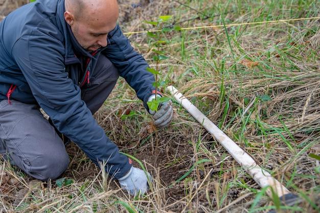 ボランティアは、キクイムシの攻撃後、若い木をsoいて森林を回復します