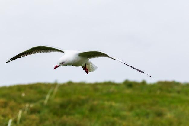 Парящая чайка над тихоокеанским побережьем
