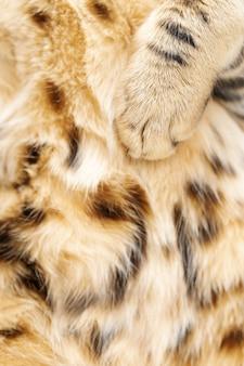 부드럽고 푹신한 고양이 발을 닫습니다. 벵골 고양이의 발과 모피.