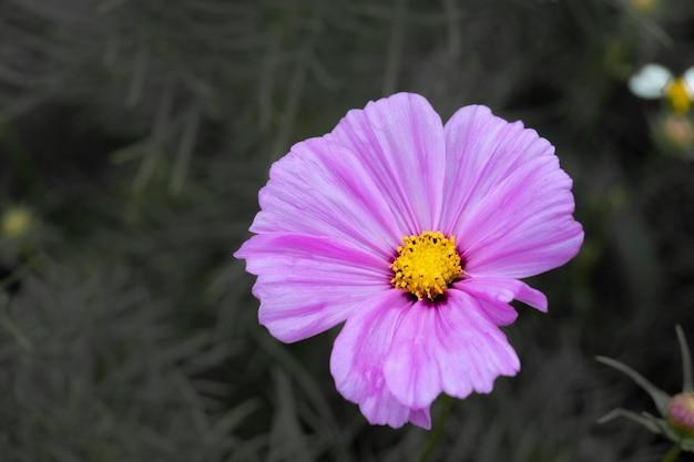 Soft and select focus, красочное поле цветка космоса посажено, чтобы посетители могли посетить цветок космоса зимой и поле космоса. цветок - это еще и встреча пар в день святого валентина.