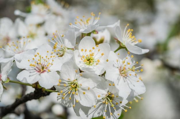 Мягкий фон с цветами вишни