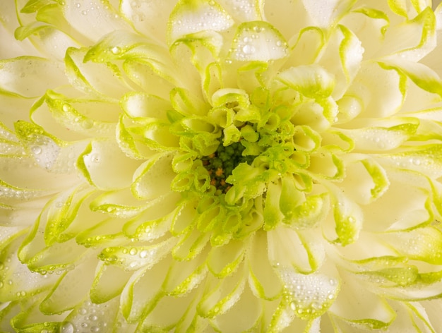 Мягкий крупный план белых лепестков цветка хризантемы с теплым оттенком