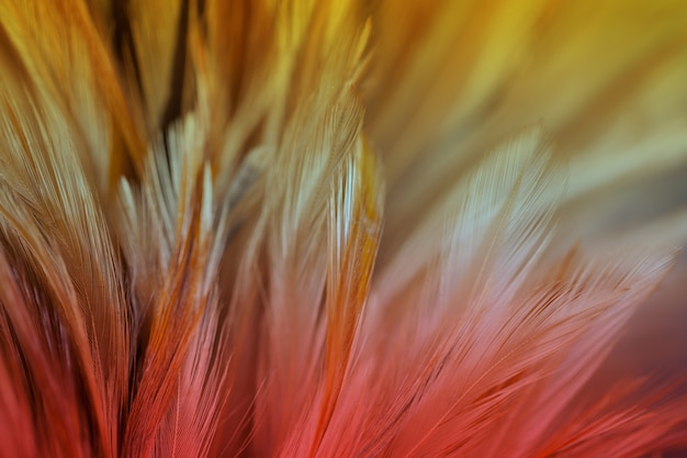 Soft color of chickens feather texture for background, blur styls