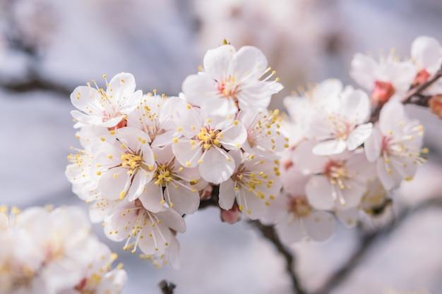 Мягкий цветочный фон с ароматными цветами вишни