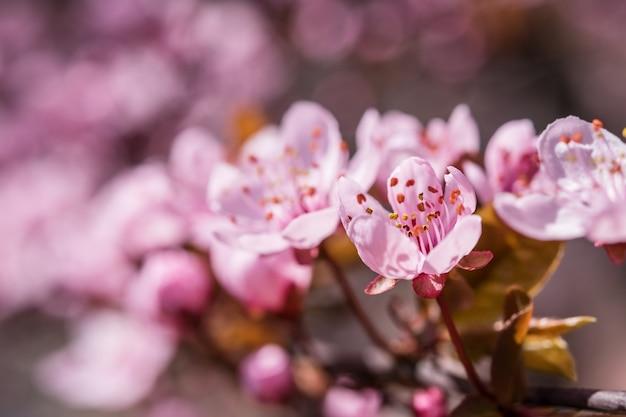 향기로운 벚꽃 꽃, 봄 꽃, 선택적 포커스가있는 부드러운 꽃 표면