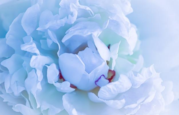 ソフトフォーカス抽象的な花の背景淡いブルーの牡丹の花びらマクロの花の背景