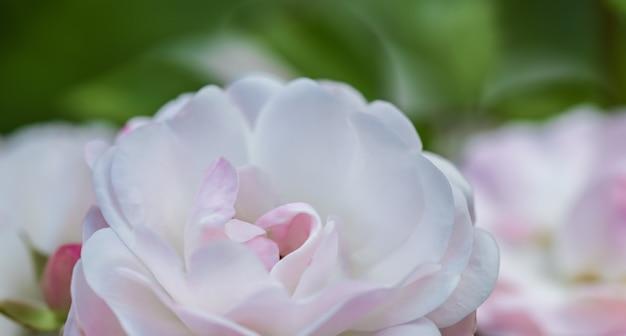 소프트 포커스 추상 꽃 배경 옅은 분홍색 장미 꽃잎 매크로 꽃 배경 휴일 디자인