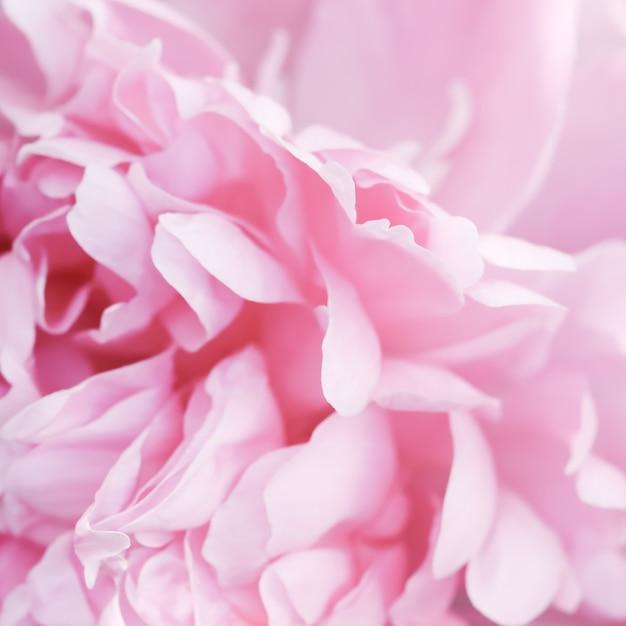 ソフトフォーカス抽象的な花の背景ピンクの牡丹の花の花びらマクロ花の背景休日