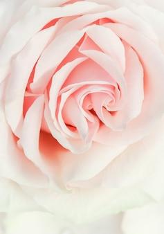 ソフトフォーカス抽象的な花の背景ピンクのバラの花マクロ花の背景ホリデーブランドの背景