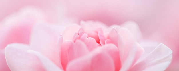 Soft focus abstract floral background pink rose flower macro flowers backdrop for holiday brand