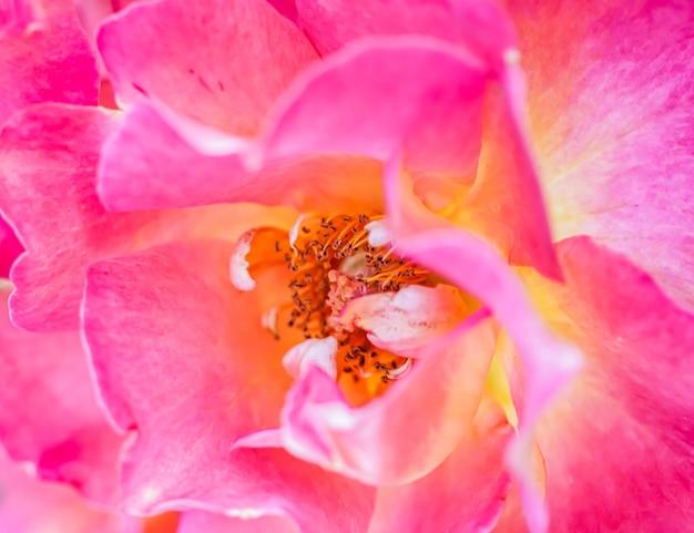 소프트 포커스 추상 꽃 배경 분홍색 노란색 장미 꽃 매크로 꽃 배경 휴일
