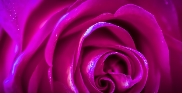 소프트 포커스 추상 꽃 배경 보라색 장미 꽃 매크로 꽃 배경 휴가 브랜드