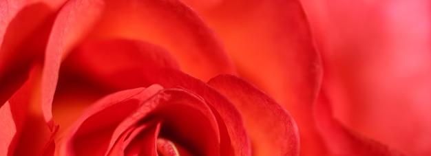 소프트 포커스 추상 꽃 배경 빨간 장미 꽃 매크로 꽃 배경 휴일 브랜드