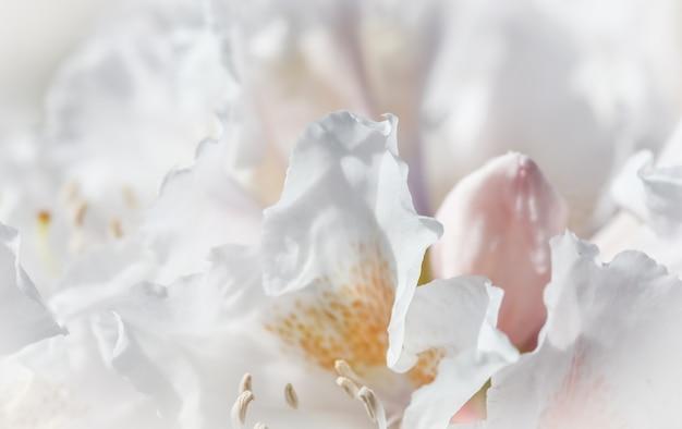 Мягкий фокус абстрактный цветочный фон белые лепестки цветов рододендрона макро цветы фон для