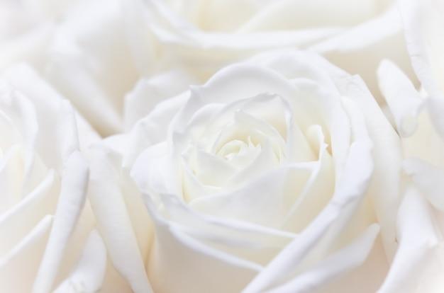 소프트 포커스 추상 꽃 배경 흰색 장미 꽃 매크로 꽃 배경 휴일 브랜드