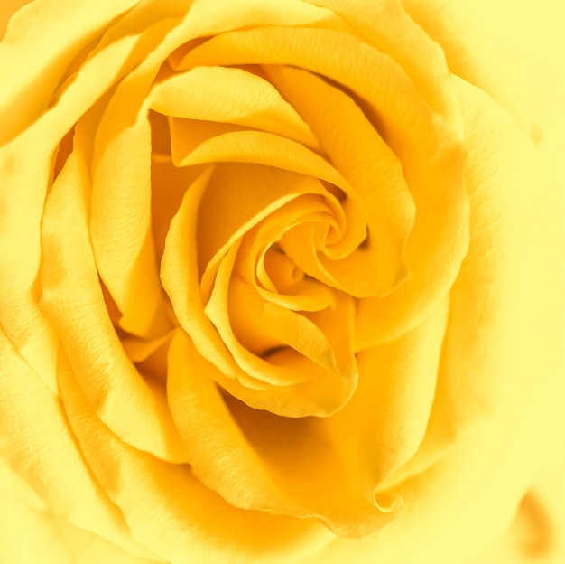 소프트 포커스 추상 꽃 배경 노란색 장미 꽃 매크로 꽃 배경 휴일 브랜드