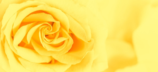 ソフトフォーカス抽象的な花の背景黄色のバラの花マクロ花の背景