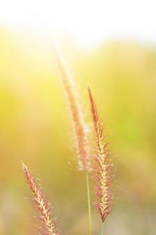 Soft focus beautiful grass flowers in natural sunlight background