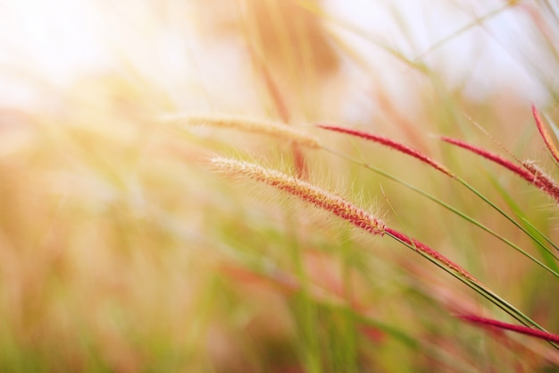 Soft focus beautiful grass flowers in natural sunlight background