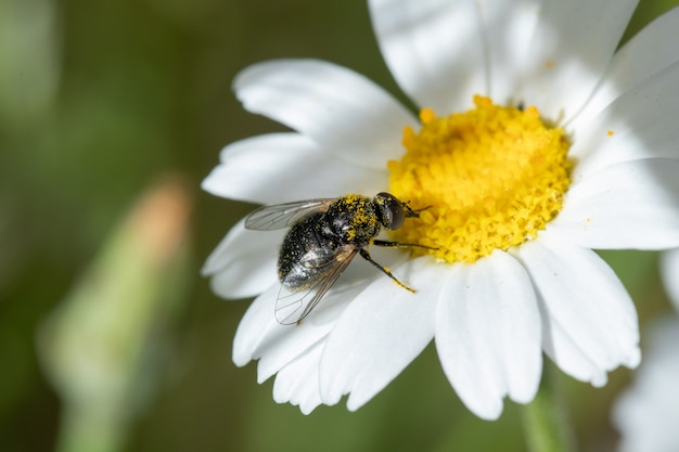 Soft focus of a bee fly gathering nectar and pollen from a daisy flower