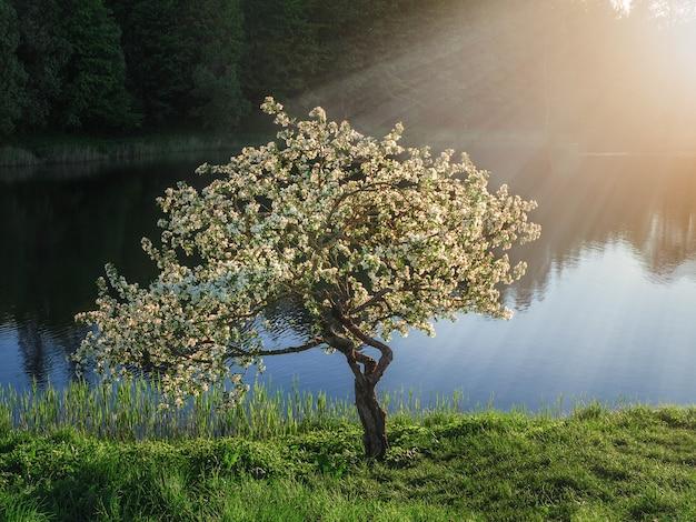 소프트 포커스입니다. 어두운 배경에 햇빛에 피는 사과 나무.