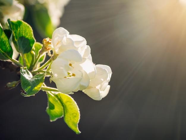 ソフトフォーカス。暗い背景の日光の下でリンゴの木の咲く枝。閉じる。