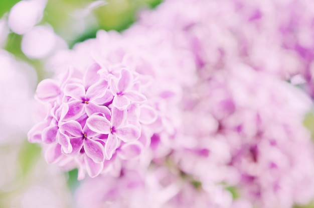 Soft focus blurred lilac flowers as an abstract blurred floral background, retro toned