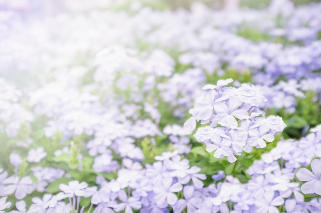 Soft focus and blurred purple flower on sunset background.shallow depth of field. for vale