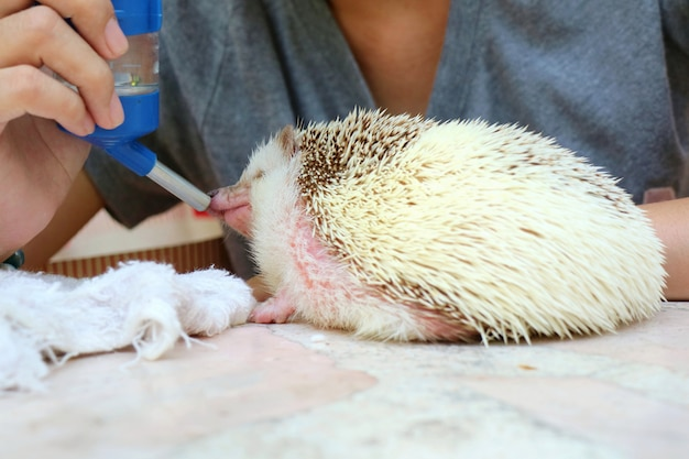 Soft focus of cute young hedgehog drinking water in summer day.