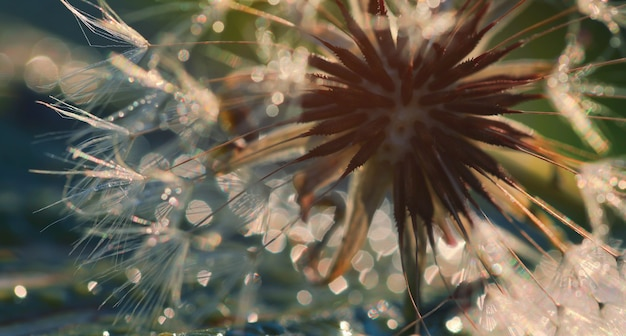 Soft focus of dandelion seeds with bokeh background