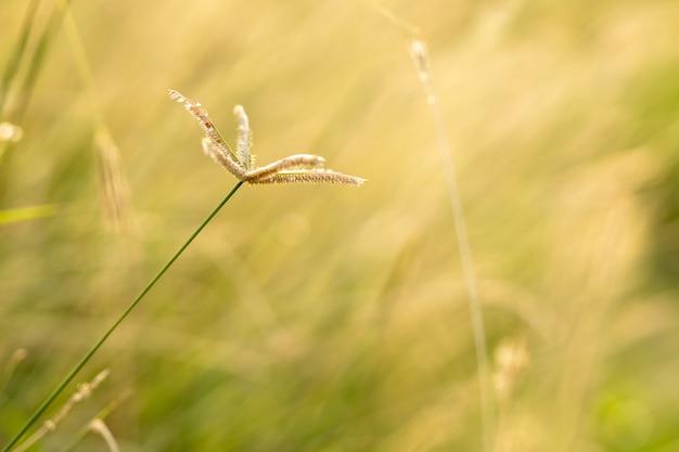 Мягкое поле фокуса желтых трав во время заката. трава стена