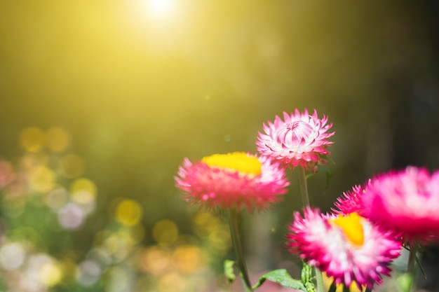 Soft focus flower background when sunrise in the morning,straw flower or everlasting for blur background